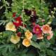 Rose trémière simple variée