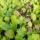 Mélange de salades asiatiques Bio