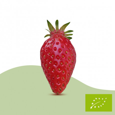 Plant de fraisier Bio Ciflorette (racines nues)