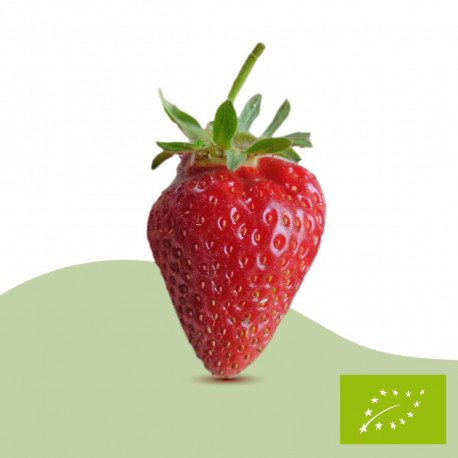 Plant de fraisier Bio Cijosée (racines nues)