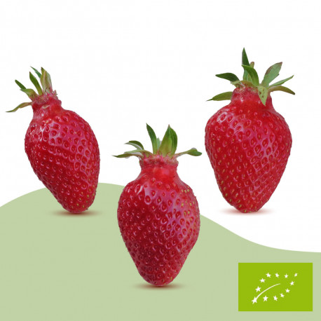 Plant de fraisier Bio Gariguette (racines nues)