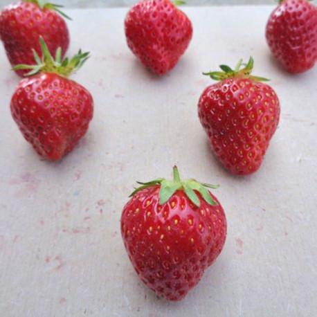 Plant de fraisier Anabelle (godet)