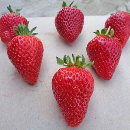 Plant de fraisier Sweet Ann (godet)