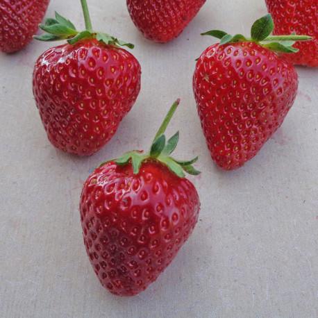 Plant de fraisier Flair (racines nues)