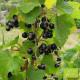 Plant de cassis Royal de Naples Bio