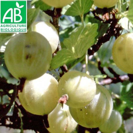 Plant de groseillier Varianta Bio