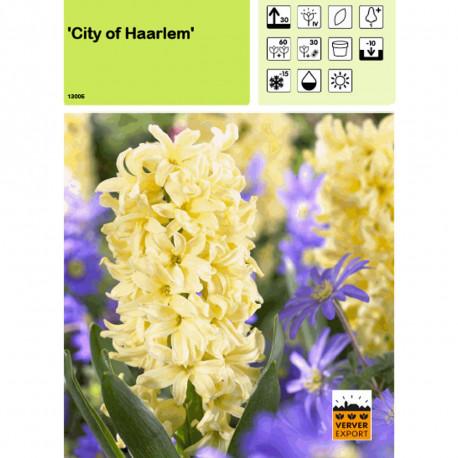 Jacinthe City of Haarlem