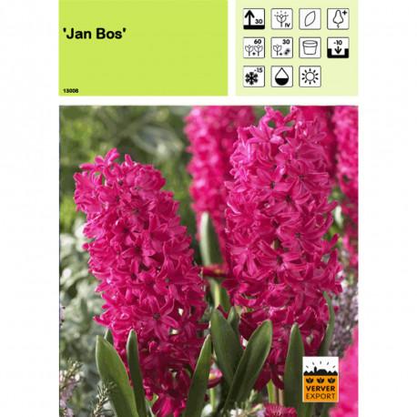 Jacinthe Jan Bos