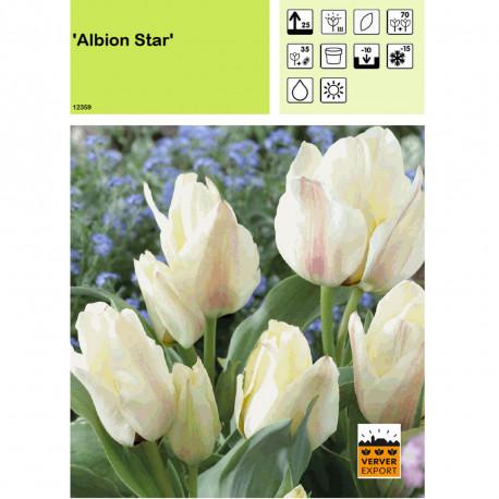 Tulipe Albion Star