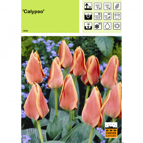 Tulipe Calypso