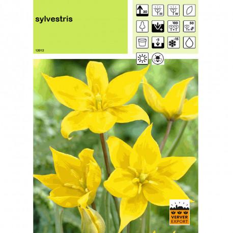 Tulipe Sylvestris