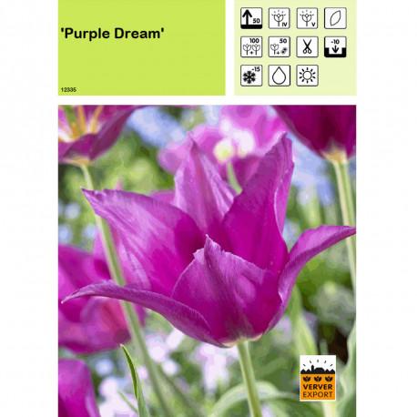 Tulipe Purple Dream