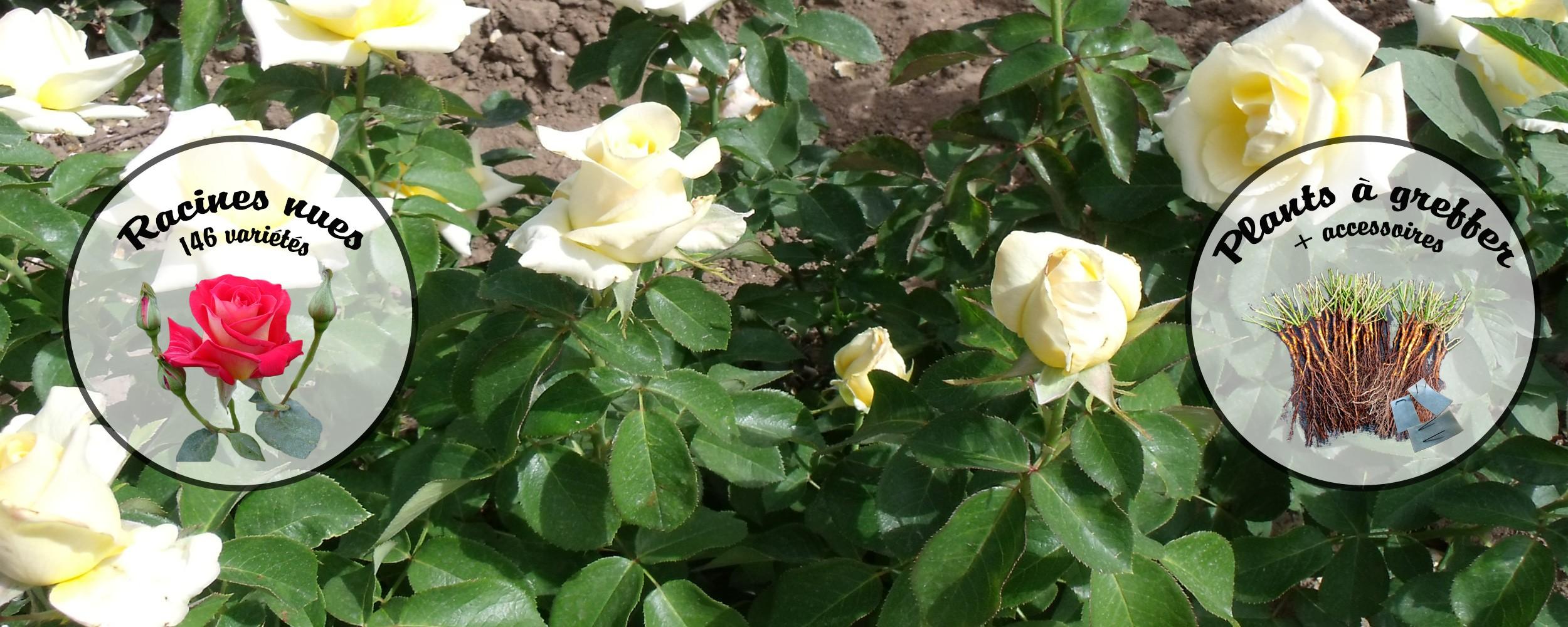 Les rosiers à racines nues sont en vente actuellement !