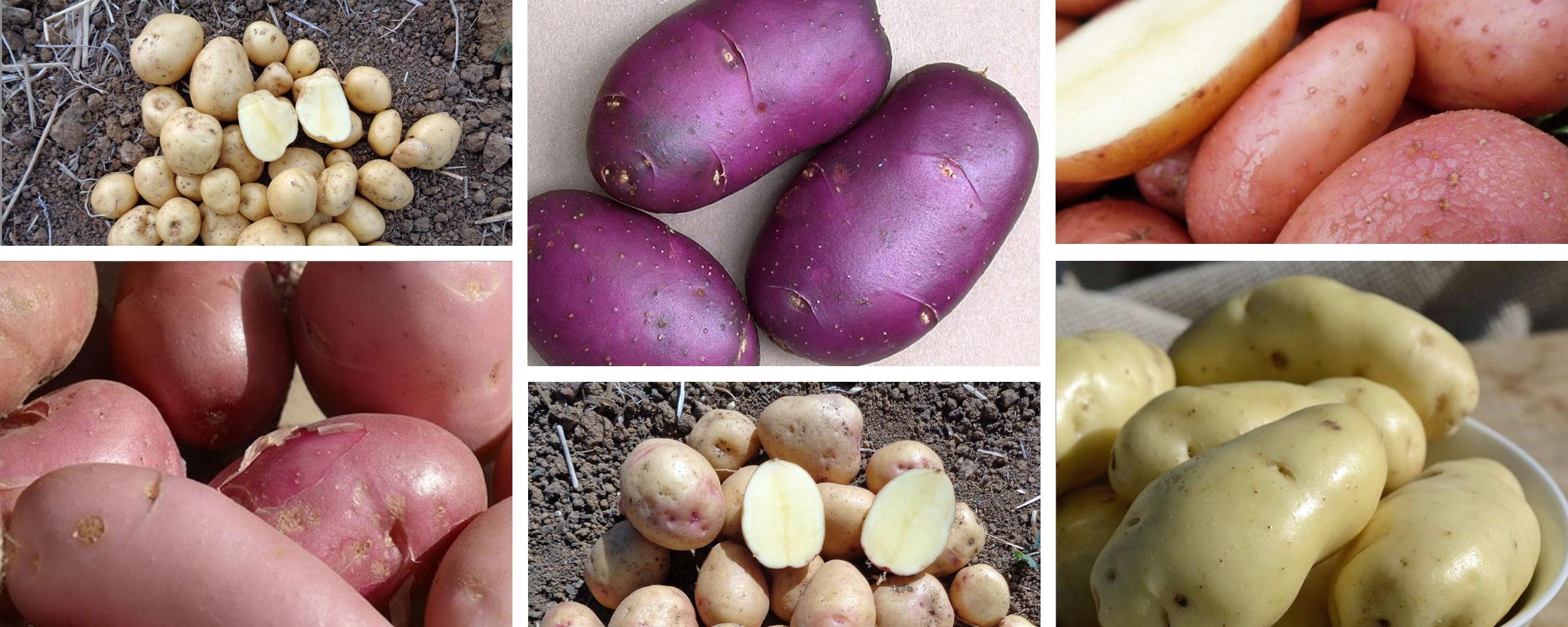 Les pommes de terre anti-mildiou de la gamme Sarpo